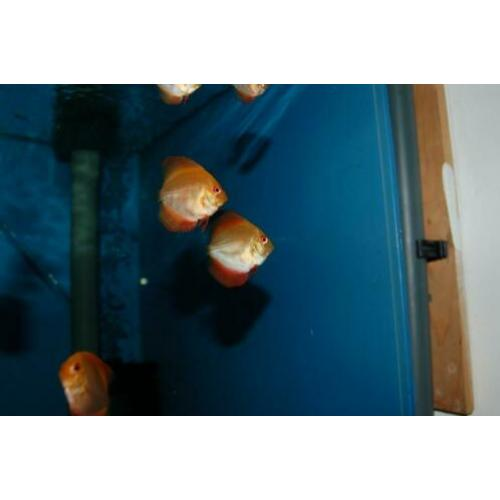 Discus, discusvis, Red Melon , aquariumvis